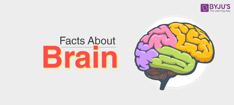 Facts About Brain