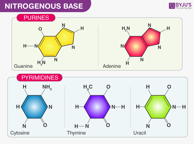 Nucleic Acid and Nitrogenous Bases