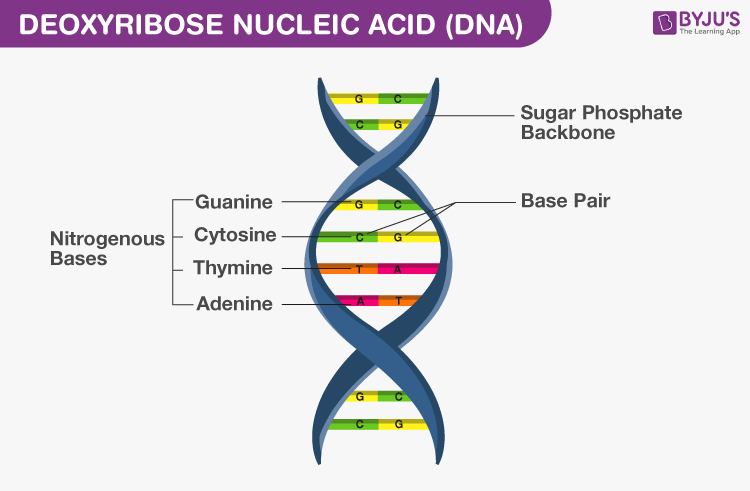 Deoxyribo Nucleic Acid