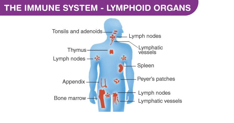 The Immune System - Lymphoid Organs