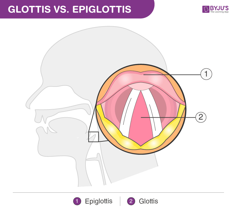 Difference Between Glottis and Epiglottis