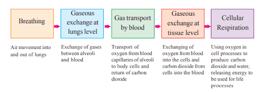 AP Board Class 10 Biology Chapter 2 Respiration