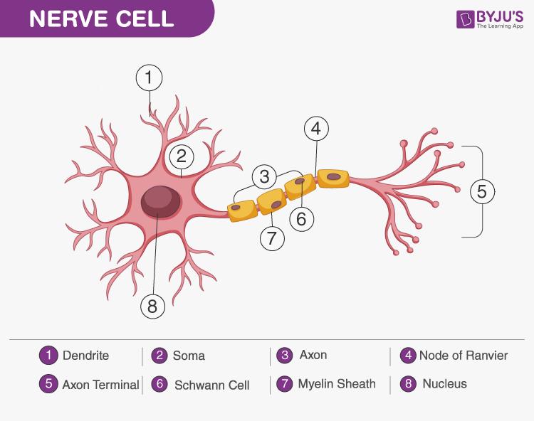 Nervous Tissue Diagram