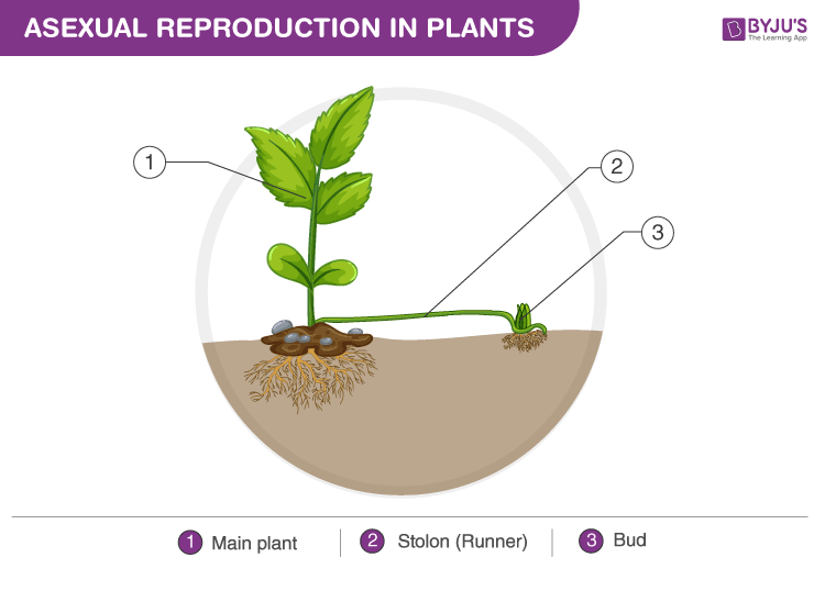 Asexual reproduction in plant