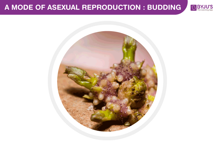 Asexual reproduction in budding