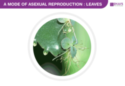 asexual reproduction in leaves