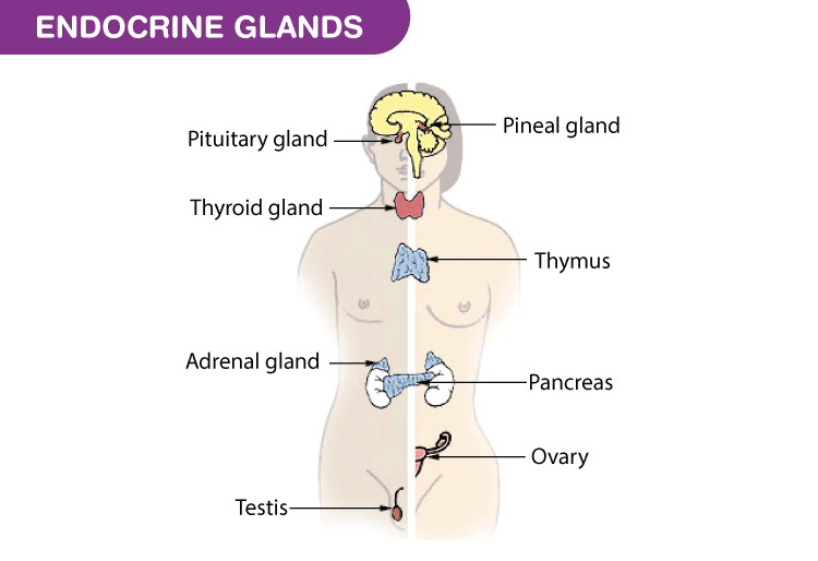 Endocrine System List Of Endocrine Glands Functions Byju S