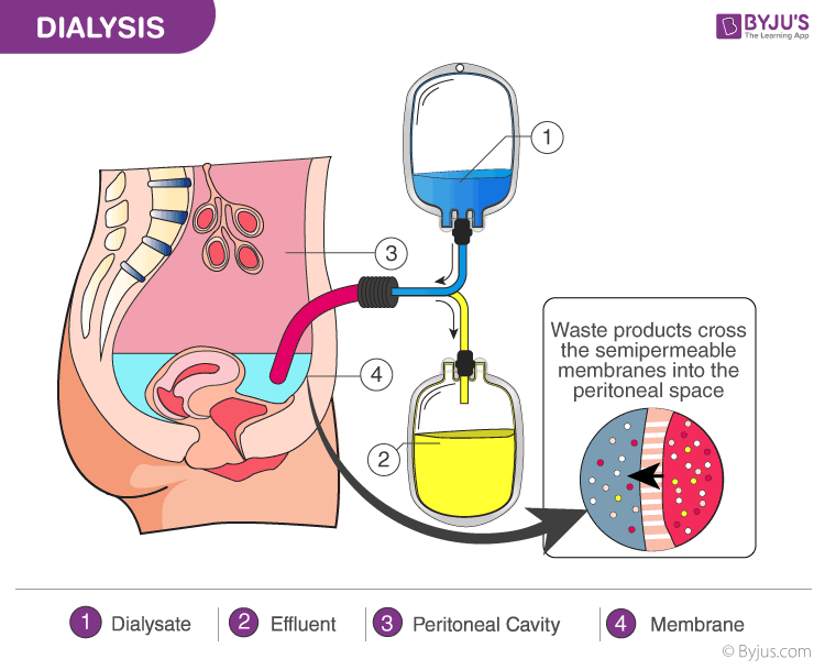 Human Excretory System- Organs, Functions and Mechanism of