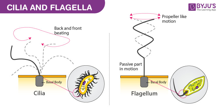 flagella structure, functions and its comparisions with ciliaboth can be differentiated by their number, size, and function even though they have similar structures