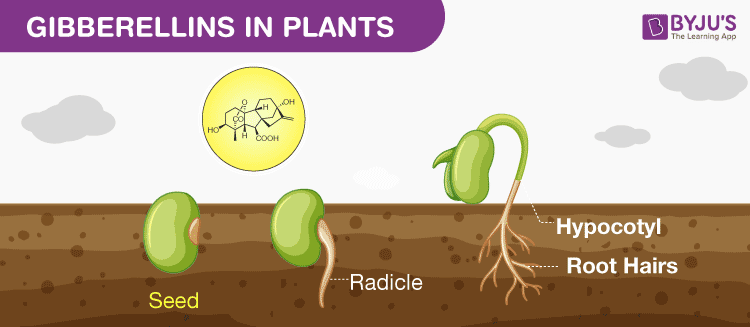 gibberellins in plants