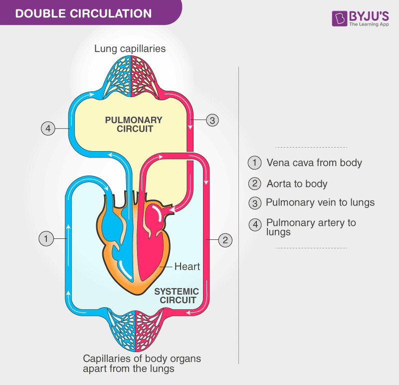 human circulatory system diagram human circulatory system organs  diagram and its functions  human circulatory system organs