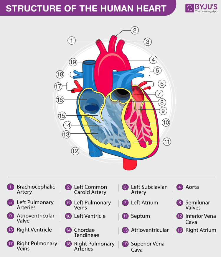 Human Circulatory System - Circulatory System Organs, Diagram And