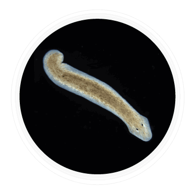 kingdom Animalia Platyhelminthes