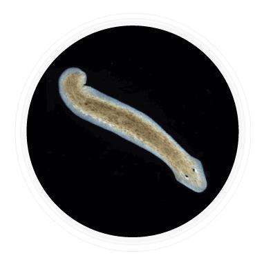 kingdom Animalia Platyhelminthes