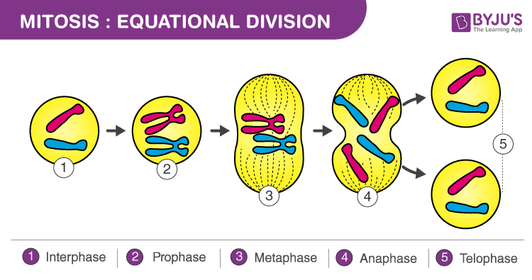 Mitosis  Definition  Diagram  U0026 Stages Of Mitosis