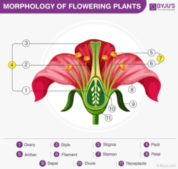 morphology of a flowering plant