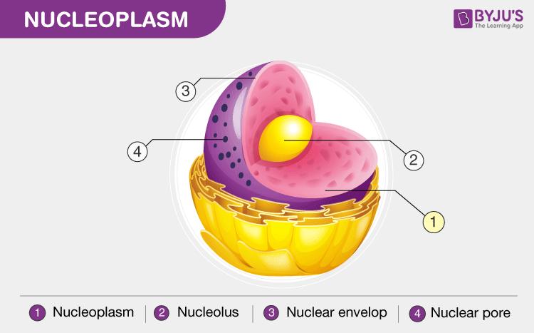 Nucleoplasm