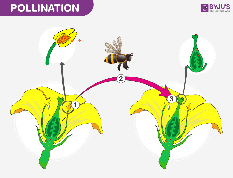 Process of Pollination