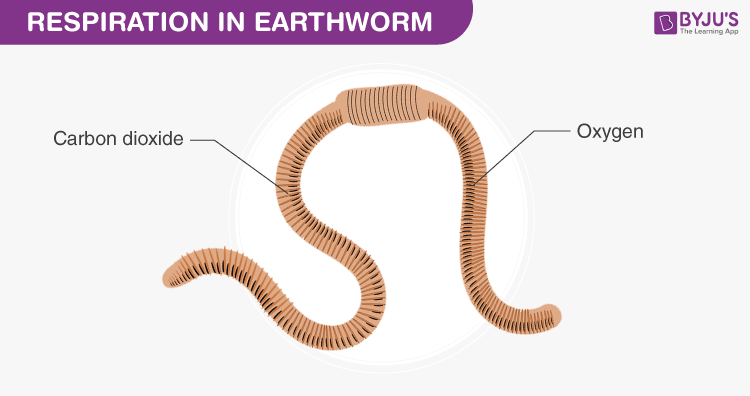 Respiration - Earthworm