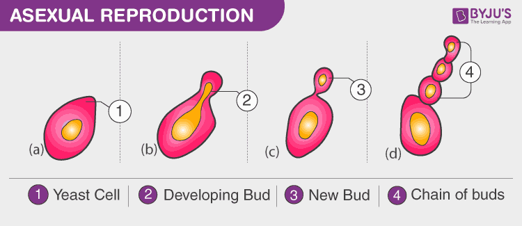 Modes of Reproduction - Asexual and Sexual Reproduction | Byju's