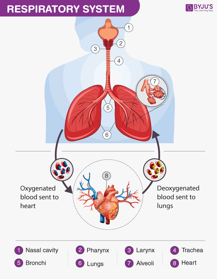 Explore Everything You Need To Know About The Respiratory
