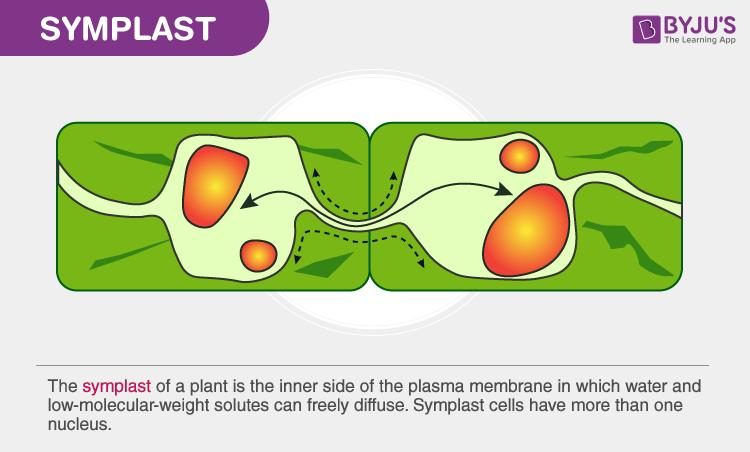 Symplast