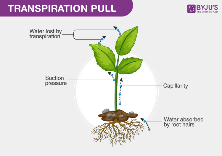 What is Transpiration Pull?- An Overview of Transpiration