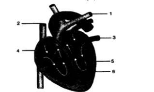 Chapter 6 - The Circulatory System-1