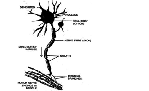 Chapter 7 - The Nervous System-2