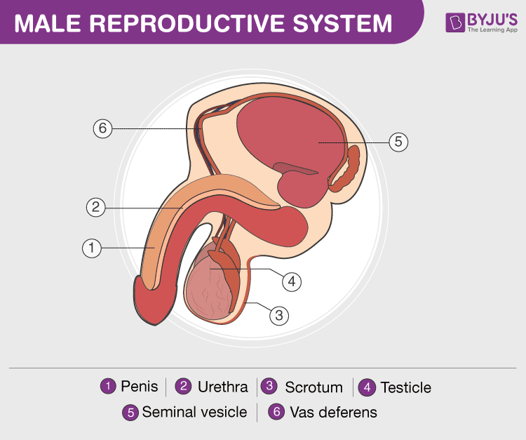 Human Reproductive System - Male And Female Reproductive -7120