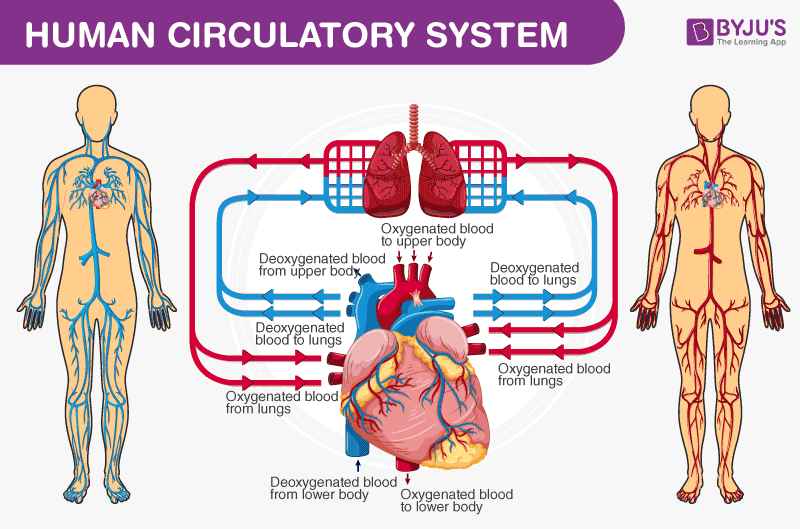 Human Circulatory System Diagram