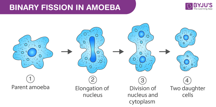 Binary fission in amoeba