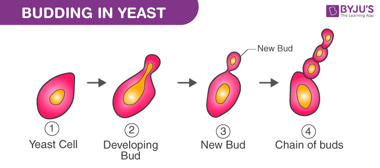 Studying Binary Fission In Amoeba And Budding In Yeast