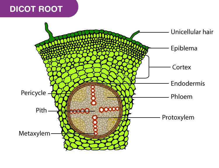 Preparation And Study Of T S Of Dicot And Monocot Roots Manual Guide