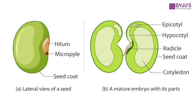 Dicot Seed