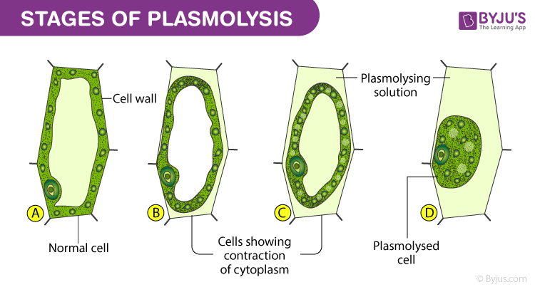 Stages of Plasmolysis