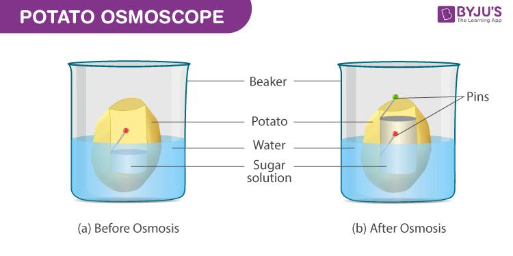 Potato Osmoscope