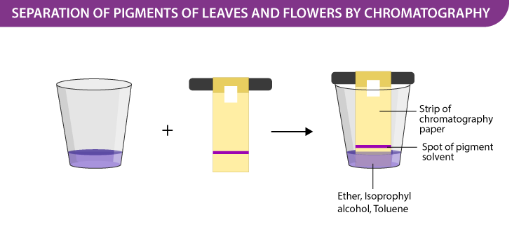 Separation of Pigments of Leaves and Flowers by Chromatography