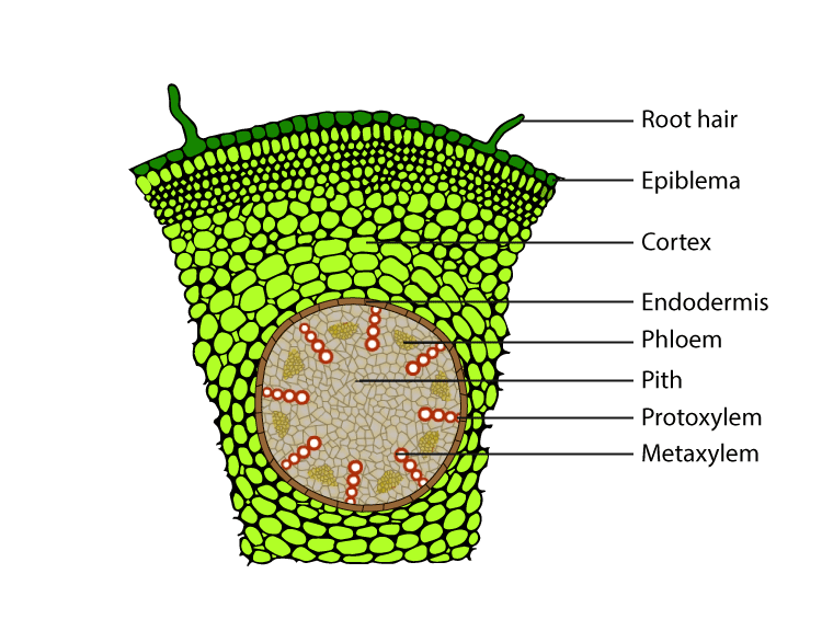 T.S of monocot root - Maize root