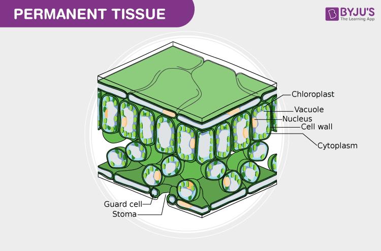 permanent tissue