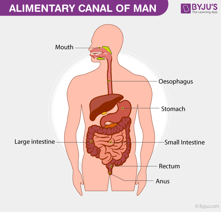 alimentary canal of man