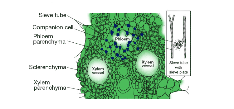 components of xylem