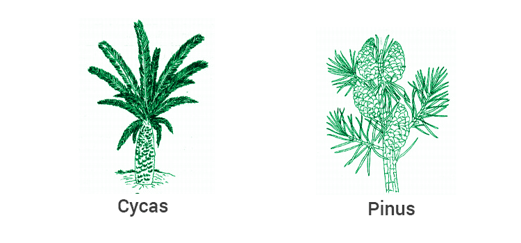 cycas and pinus