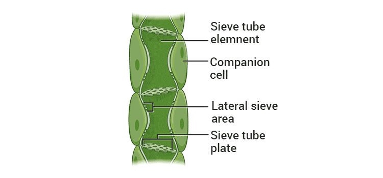 elements of phloem