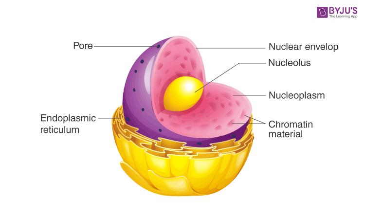 eukaryotic nucleus