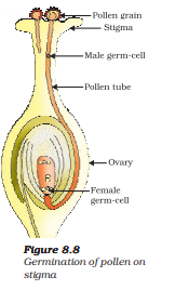germination of pollen on stigma