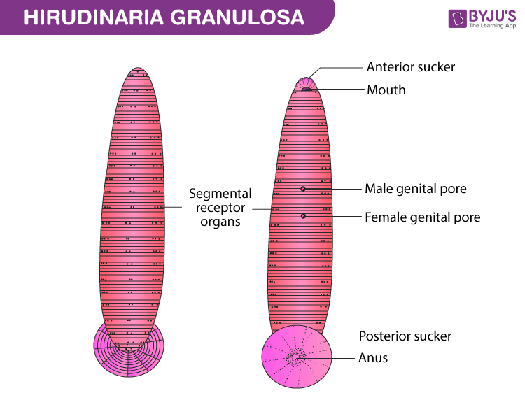 Hirudinaria Granulosa