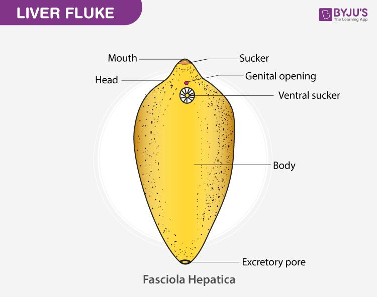liver fluke