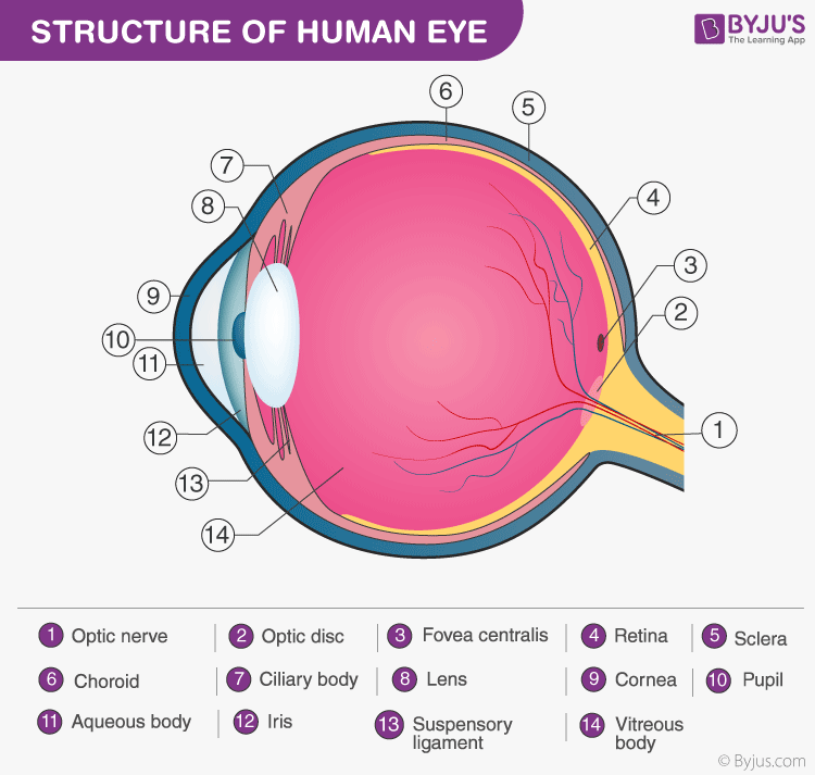 ncert solutions class 10 science chapter 11 human eye and colorful world fig 7