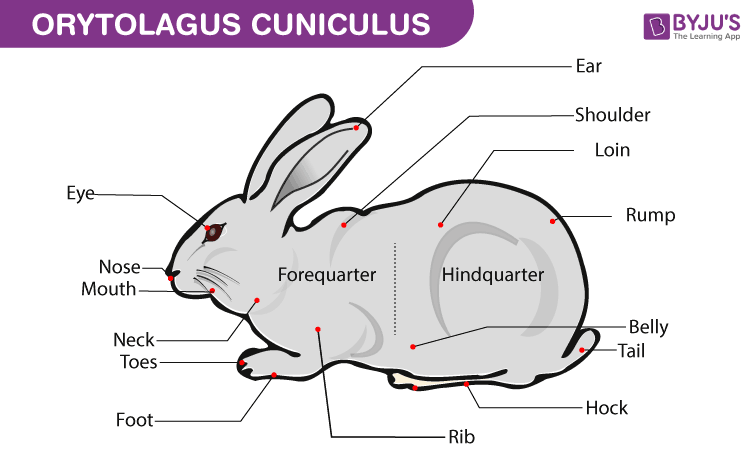 Orytolagus Cuniculus